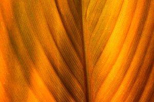 Natural orange leaf with veins