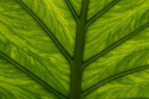 Natural leaf with veins