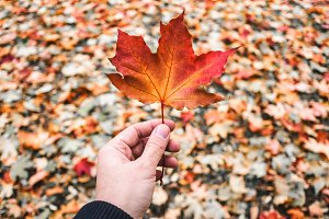 Red Maple Leaf in Man's Hand