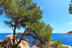 Pine tree on sea coast.