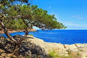 Pine trees on sea coast.