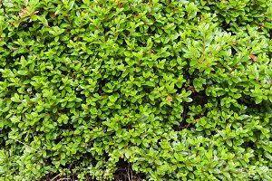 Green hedge or shrub texture