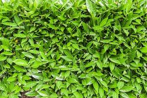 Green hedge or shrub texture