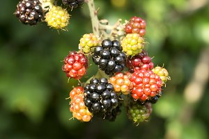 blackberry , mulberry , on branch