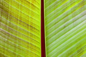 Back lit banana leaf for background
