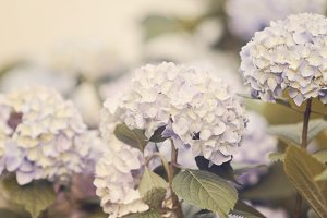 Purple Hydrangeas Stock Photography