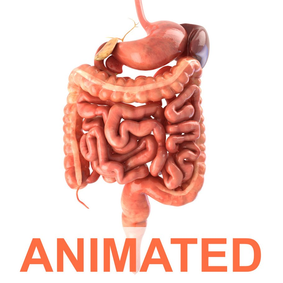 Digestive system. Animated in People