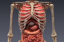 Animated internal organs, skeleton by  in People