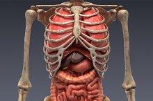 Animated internal organs, skeleton by  in People