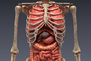 Animated internal organs, skeleton