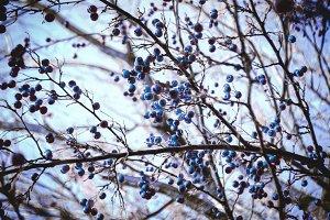 bluebarry