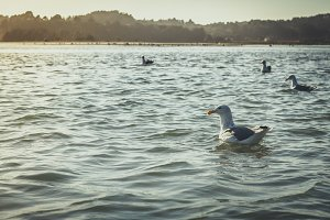 Seagull swimming