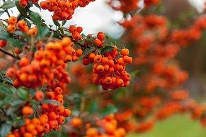 Bunch of rowan bright orange color