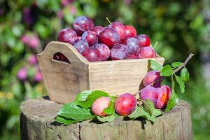 Plums in box outdoors