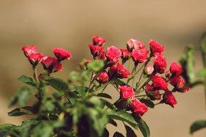 Roses Bloom