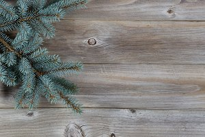 Real Blue Spruce Tree on Wood