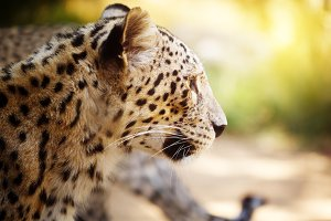 Leopard head close up