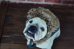Bulldog with a winter hat.