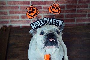 Halloween dog.