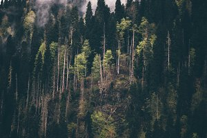 Coniferous Forest tree Background