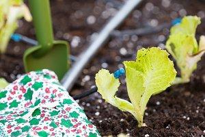 Small lettuce garden