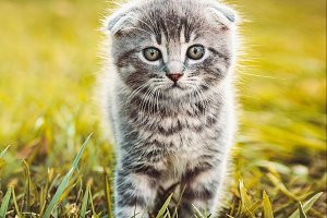 Gray kitten run on green grass
