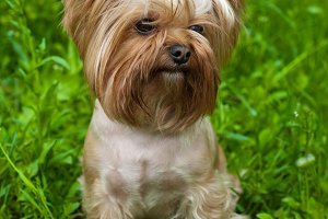 cute Yorkshire terrier sitting