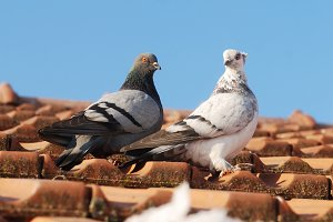 two grey pigeons