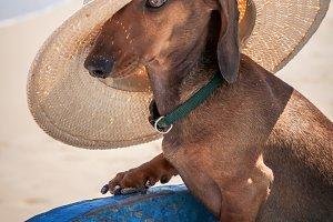 Dachshund dog with hat