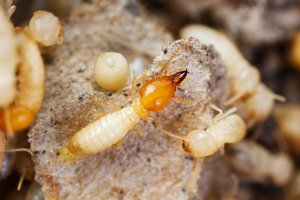 Termite or white ant