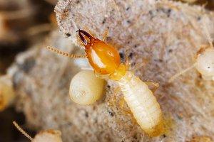 Termite or white ant