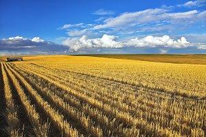 Wheaten fields of Montana