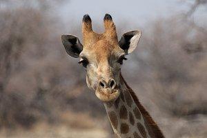 Giraffe (Giraffa camelopardis)