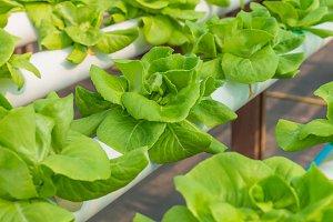 Organic hydroponic vegetable in farm