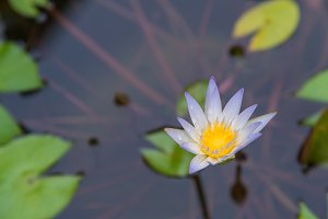 purple of Lotus blooming flower