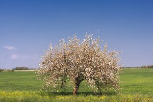 Apple tree in the spring