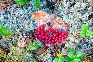 Red cranberries on the bark