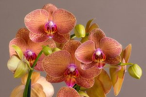orchid brown background