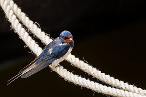 Swallow on a rope 2