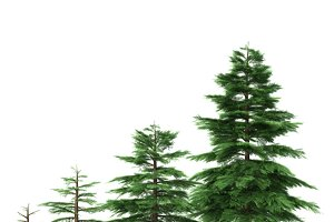 Fir tree - animation of growth