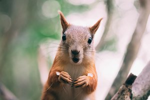 surprised red fur funny Squirrel at autumn forest background, wild nature animal thematic (Sciurus vulgaris, rodent)