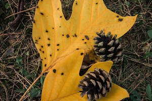 Autumn leaf and pine comb