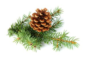 Spruce branch and fir cone