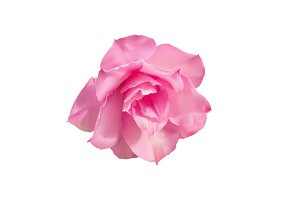 Pink desert rose isolated on white