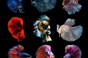 Siamese fighting betta fish
