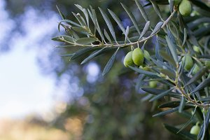 Olive in branches 3