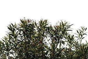 Oleander Plant Leaves