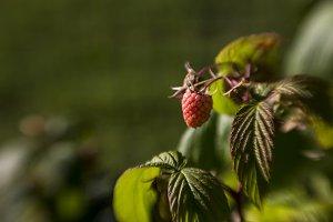 Ripening Raspberry