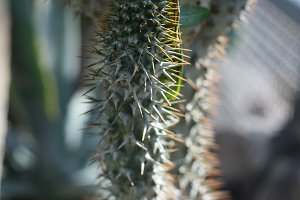 Sharp Cactus