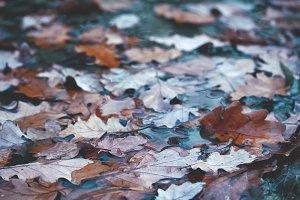 Fallen oak leaves in a puddle